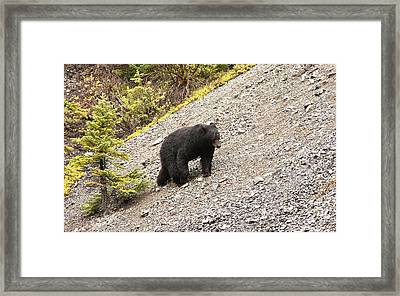 Black Bear 1893 Framed Print by Larry Roberson