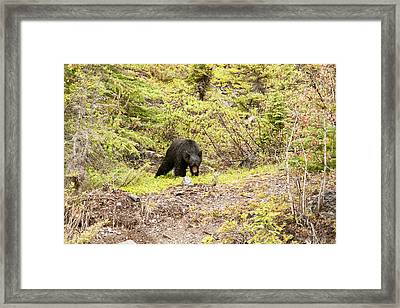 Black Bear 1899 Framed Print by Larry Roberson