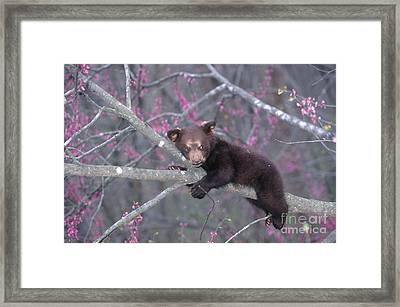 Black Bear Cub On Branch Framed Print by Alan and Sandy Carey and Photo Researchers