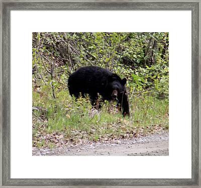 Black Bear Framed Print by Mark Caldwell