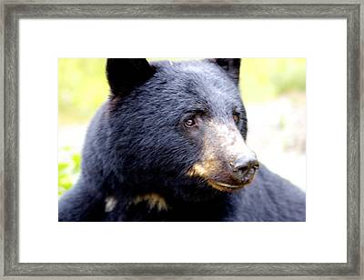 Framed Print featuring the photograph Black Bear by Sylvia Hart