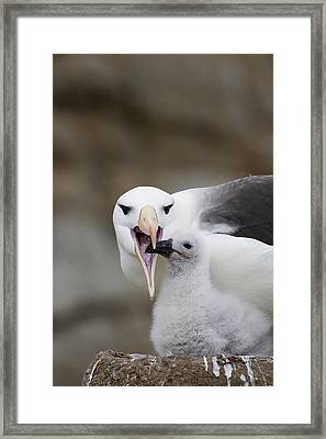 Black Browed Albatross Preparing Framed Print by Suzi Eszterhas