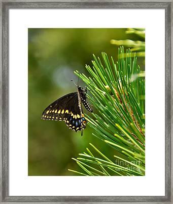 Black Butterfly Framed Print by Betty LaRue
