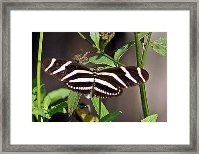 Black Butterfly Framed Print by Joe Faherty