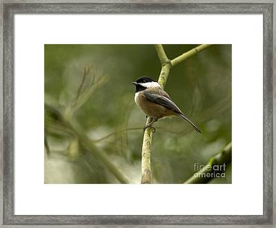 Black-capped Chickadee With Branch Bokeh Framed Print