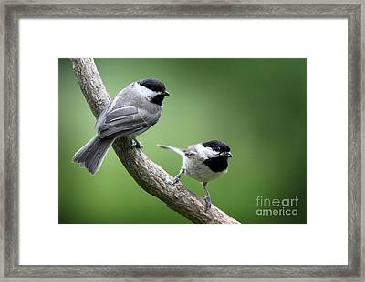 Framed Print featuring the photograph Black-capped Chickadees by Jack R Brock