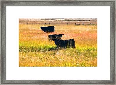 Black Cattle Golden Field Framed Print
