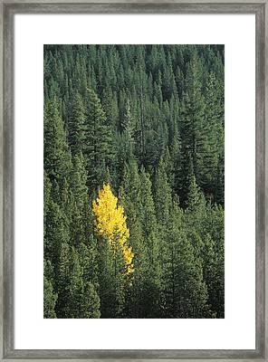 Black Cottonwood Tree In Evergreen Forest Framed Print by Kaj R. Svensson