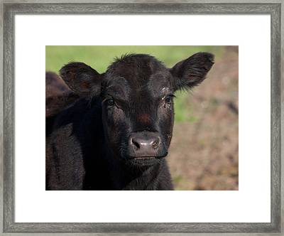 Black Cow Framed Print