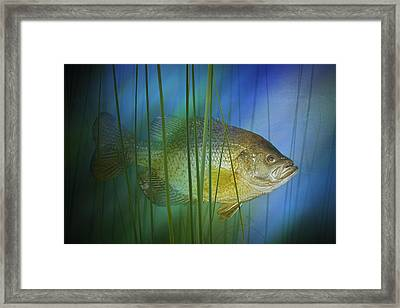 Black Crappie Fish No.0155 Framed Print by Randall Nyhof
