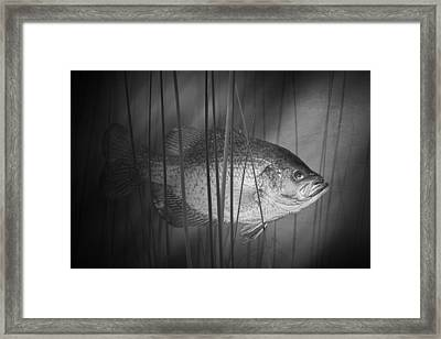 Black Crappie Or Speckled Bass Among The Reeds Framed Print
