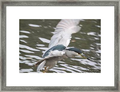 Framed Print featuring the photograph Black Crowned  Night Heron by Amy Gallagher
