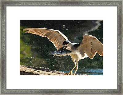 Black-crowned Night Heron Framed Print by Dung Ma