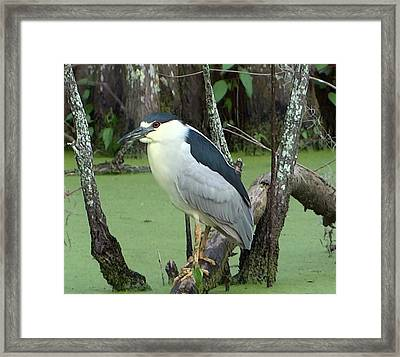 Black Crowned Night Heron   Louisiana's Penguin Framed Print by Betty Berard