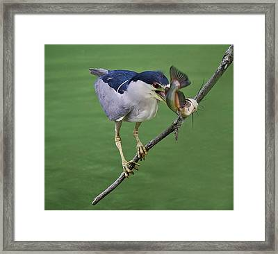 Black Crowned Night Heron With A Catfish Framed Print by Paulette Thomas