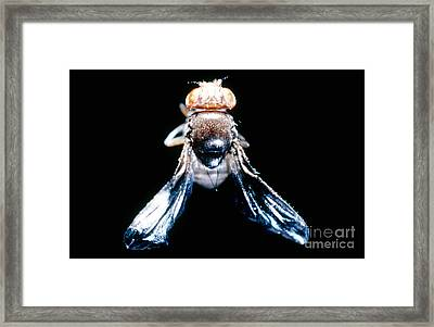 Black Curved Drosophila Framed Print by Science Source
