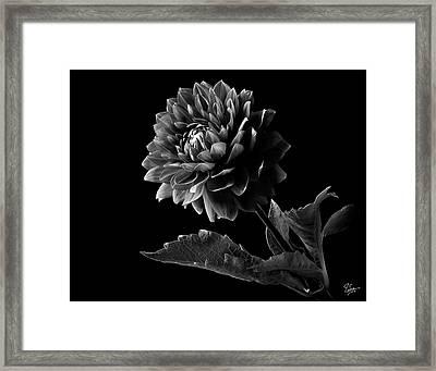 Black Dahlia In Black And White Framed Print