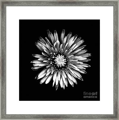 Black Dandy Framed Print by Penny Haviland
