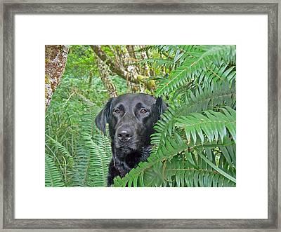 Black Dog In The Ferns Framed Print by Pamela Patch