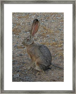Black Eared Jack Rabbit Framed Print