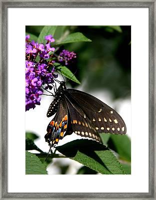 Black Eastern Swallowtail Framed Print by Paula Tohline Calhoun