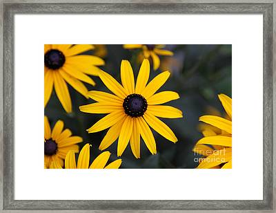 Black-eyed Susan Framed Print by Chris Hill