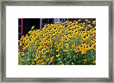 Black Eyed Susan Flowers  Framed Print by Susan Leggett