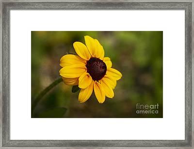 Black Eyed Susan Framed Print by Teresa Zieba