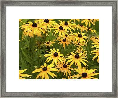 Black-eyed Susans Framed Print by Stanley French