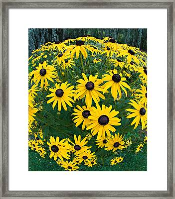 Black Eyed Susans Framed Print