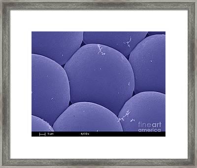 Black Fly Eye, Sem Framed Print by Ted Kinsman