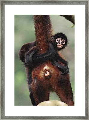 Black-handed Spider Monkey Ateles Framed Print by Christian Ziegler