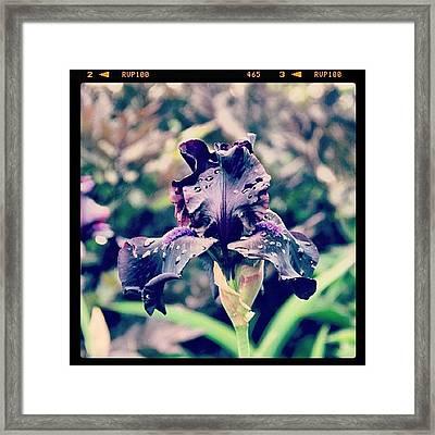 Black Iris Framed Print