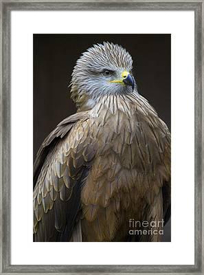 Black Kite 4 Framed Print by Heiko Koehrer-Wagner