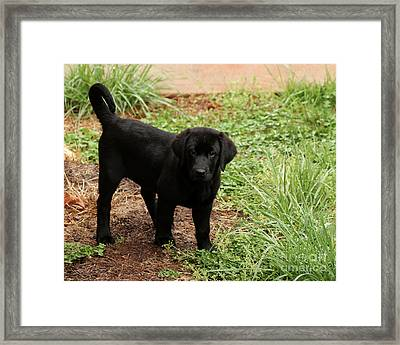 Black Lab I Framed Print