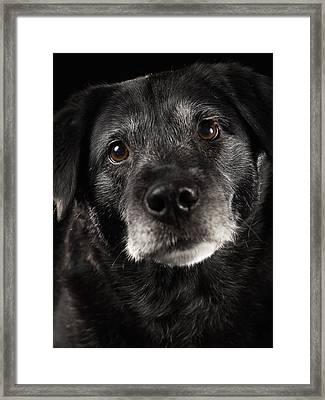 Black Labrador Retriever Mixed Breed Dog, Close-up Framed Print by Ryan McVay