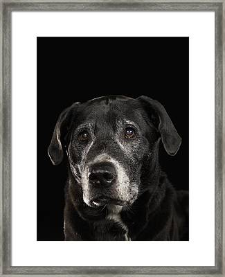 Black Labrador Retriever Mixed Breed Dog Looking Up Framed Print by Ryan McVay