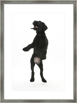 Black Labrador X Portuguese Water Dog Framed Print