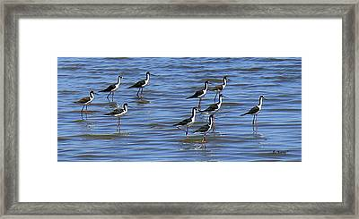 Framed Print featuring the photograph Black-neck Stilt Dressed In Their Best by Roena King