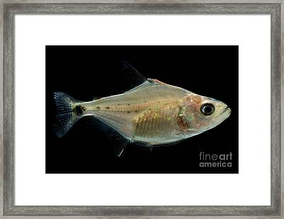Black Piranha Framed Print