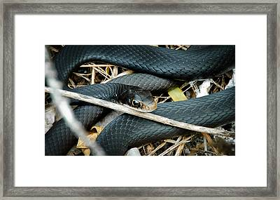 Black Racer Framed Print