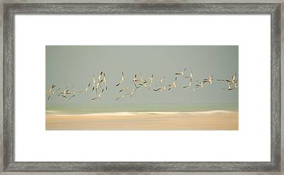 Black Skimmers Framed Print
