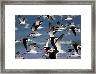 Black Skimmers Flock Framed Print by Clarence Holmes