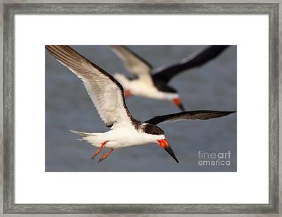 Black Skimmers Flying Framed Print