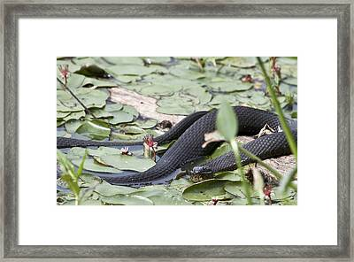 Snake In The Lillies Framed Print by Jeannette Hunt