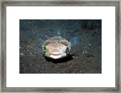 Black-spotted Porcupinefish Framed Print by Georgette Douwma