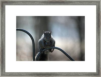 Black Squirrel  Framed Print by Karol Livote