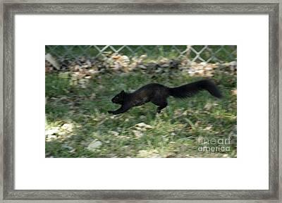 Black Squirrl On Run Framed Print by Yumi Johnson
