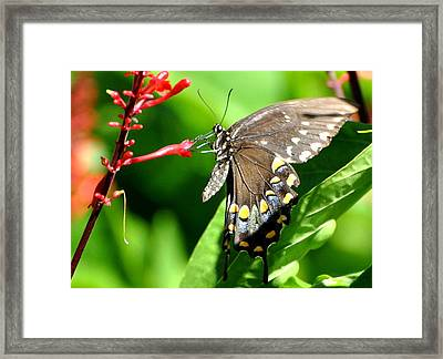 Black Swallow Tail Butterfly Framed Print