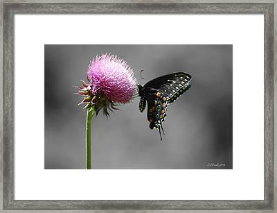 Black Swallowtail And Thistle Framed Print